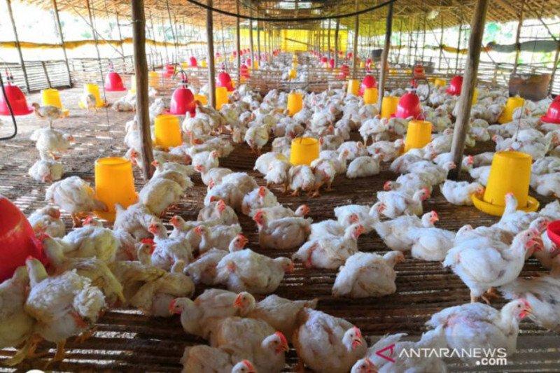 PPI serap hasil peternak ayam mandiri untuk membantu pemulihan ekonomi