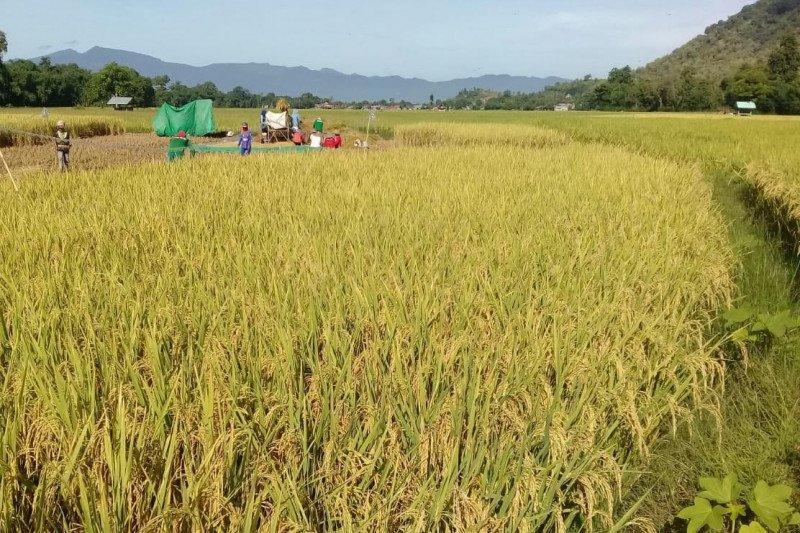Puncak panen raya, produksi beras bakal capai 5,27 juta ton