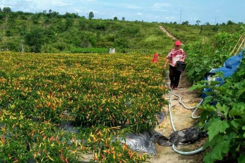 Petani di Gumas ingin perluas lahan untuk menanam cabai