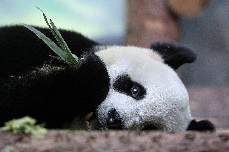 Dua Panda raksasa di Moskow rindu manusia