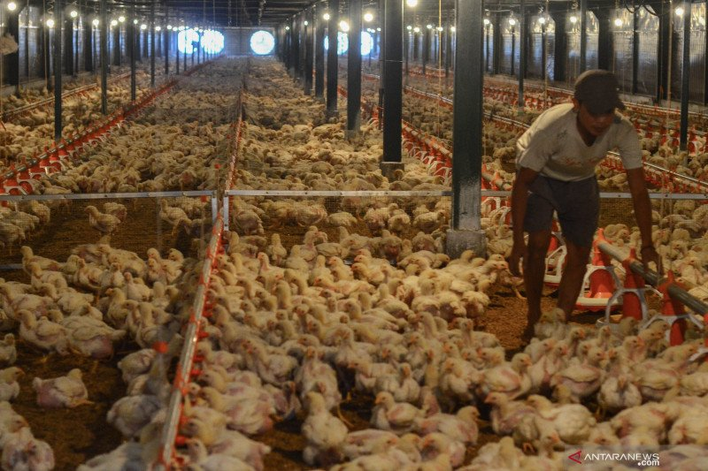 Apa benar  ayam pedaging disuntik hormon?  ini jawaban asosiasi