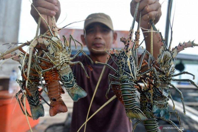 Regulasi, kontroversi lobster dalam pembudidayaan dan ekspor benih