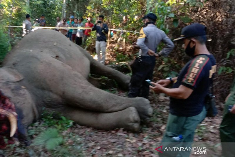 Miris! Gajah sumatera terpisah dari rombongannya dibunuh di Riau