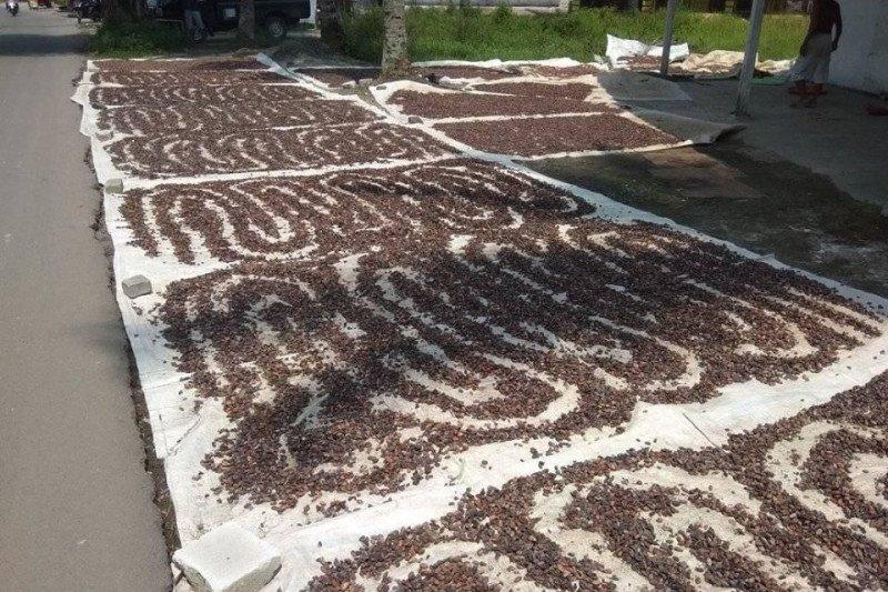 Panen coklak bantu petani Lebak Banten, apalagi harganya Rp40 ribu