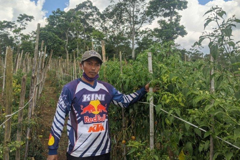 Petani Lampung Barat panen cabai merah