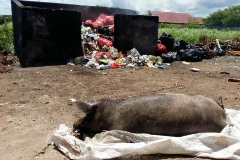 Kematian babi akibat virus ASF capai 6.998 ekor
