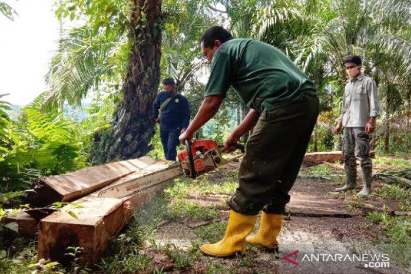 Dua meter kubik kayu hasil pembalakan di hutan lindung Agam dimusnahkan, pembalak tak ditemukan