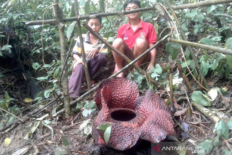 Bunga rafflesia arnoldi mekar di Desa Tanjung Alam Kepahiang ramai dikunjungi