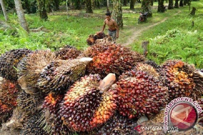 Harga CPO Jambi naik jadi Rp7.050 per kilogram