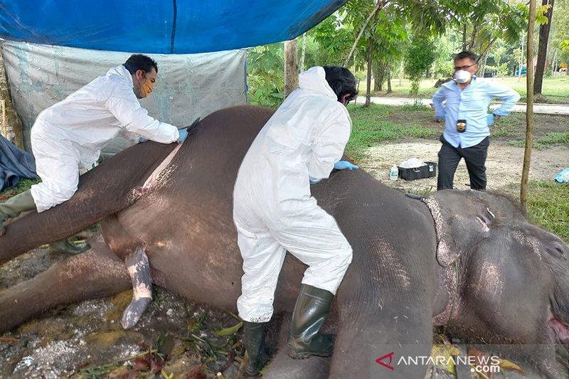 Penyebab kematian gajah di Bonbin Kasang Kulim karena infeksi pencernaan, bukan kelaparan