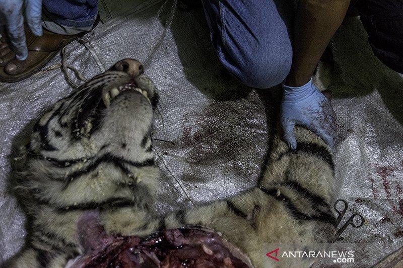 Nasib Harimau Sumatera Mati terjerat