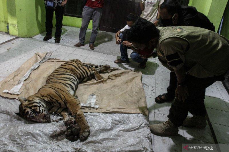 BBKSDA Riau akan periksa perusahaan dalam penyelidikan kematian harimau