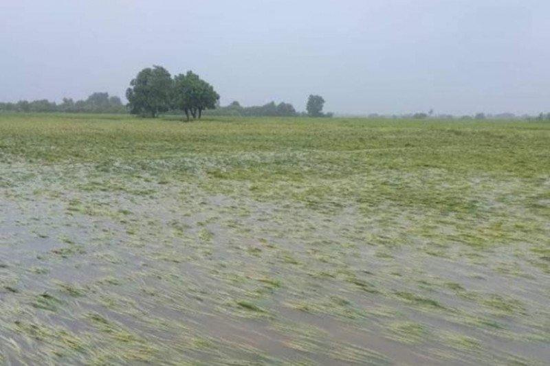 Puluhan ribu hektare lahan pertanian di Sumba Timur terendam banjir