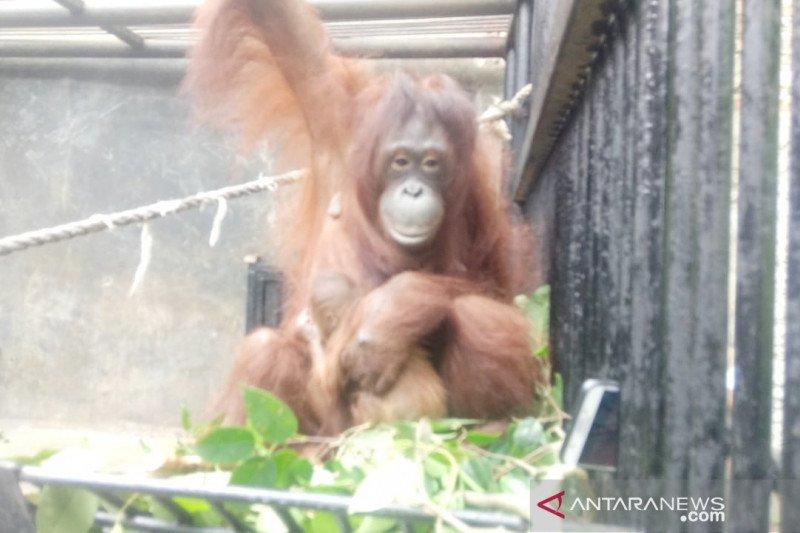 """Orang utan di Taman Safari Bogor lahir saat Lebaran diberi nama """"Fitri"""""""
