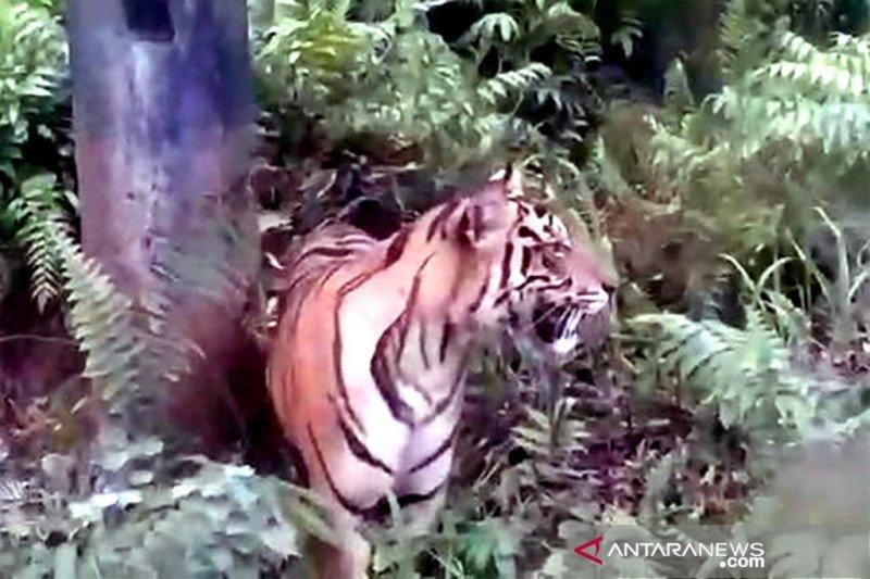 Hutan Lindung Bukit Daun jalur perlintasan harimau sumatera