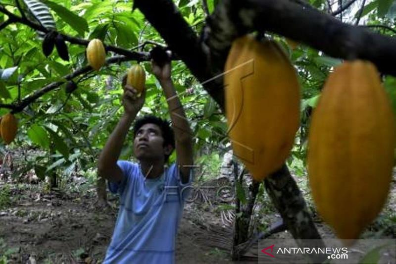 Target produksi kakao
