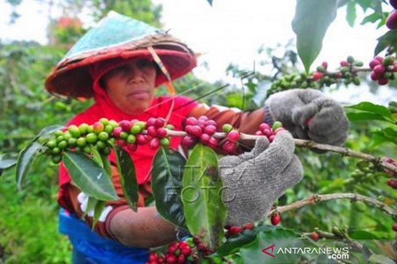 Panen kopi arabika kerinci