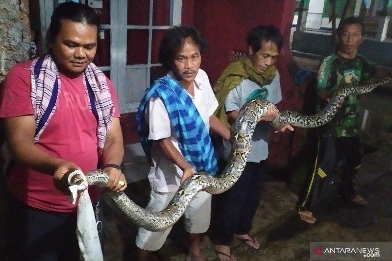 Warga tangkap ular sanca sepanjang 4,5  meter
