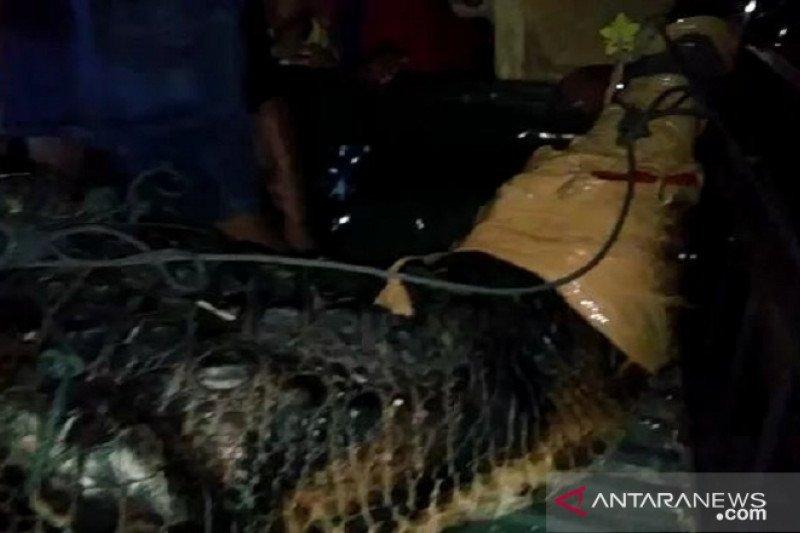 Warga Desa Tangkit Jambi tangkap buaya sepanjang empat meter gunakan alat setrum