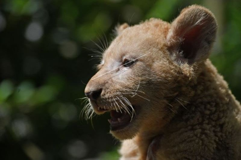 Bayi Singa Putih Tambah Koleksi Taman Safari Prigen