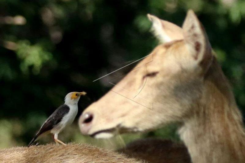 Burung Jalak Putih dan Rusa Timor di TN Baluran Terdampak Pandemi