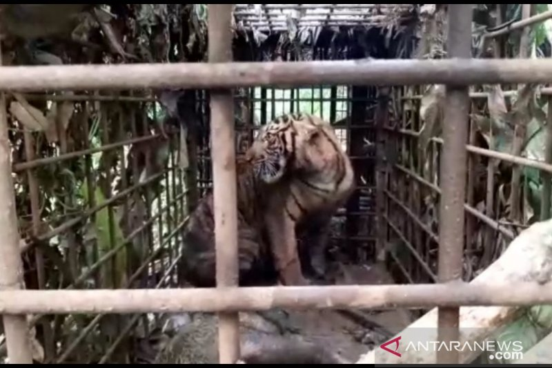 Harimau yang resahkan warga di Kabupaten Solok akhirnya masuk perangkap (Video)