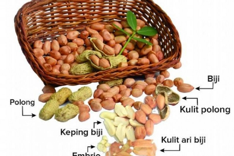 Kulit ari kacang tanah berkhasiat  untuk kesehatan
