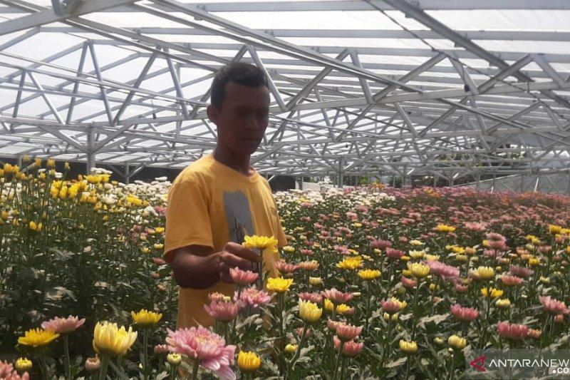 Kenangan Pramono Edi,  berencana  memanen bunga krisan di Cipanas