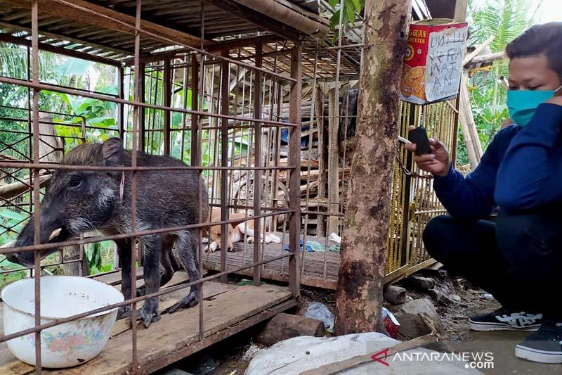 Ratusan celeng ditemukan mati di tiga kabupaten di Kaltara
