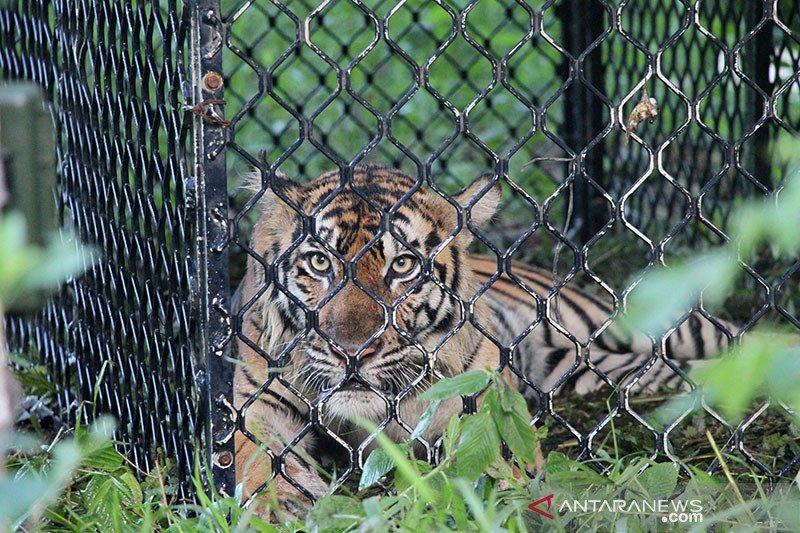 Harimau sumatera meresahkan warga Solok bertambah satu ekor masuk perangkap
