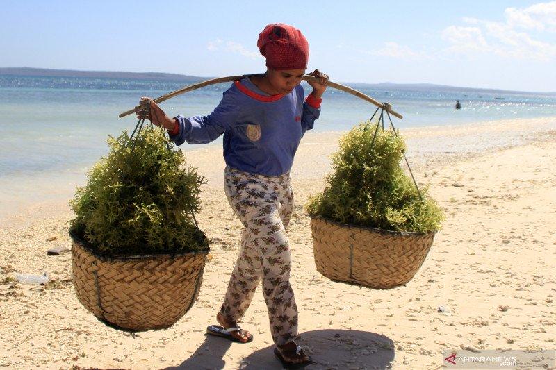 Harga rumput laut di daerah ini melonjak