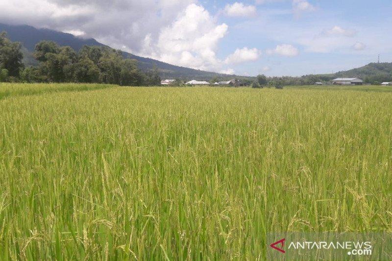 Bulog Sultra kuasai 9.000 ton beras hasil panen petani