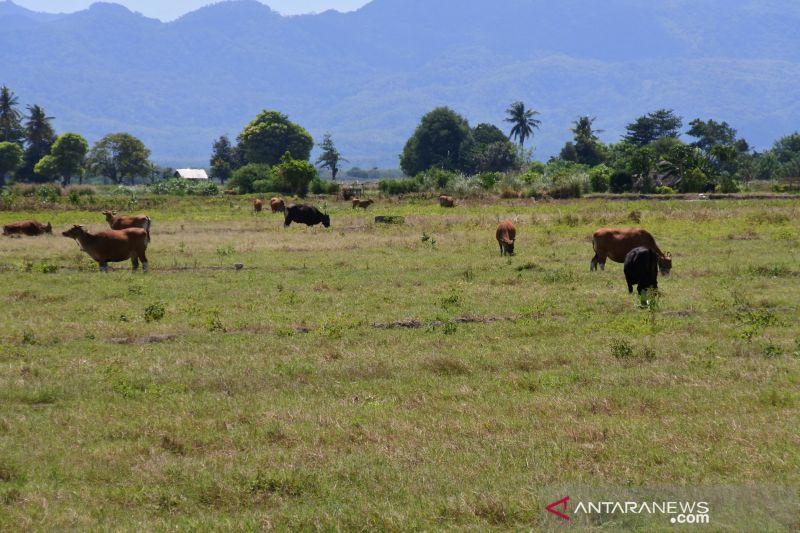 Kabupaten Kupang dorong petani perbanyak tanam  jagung