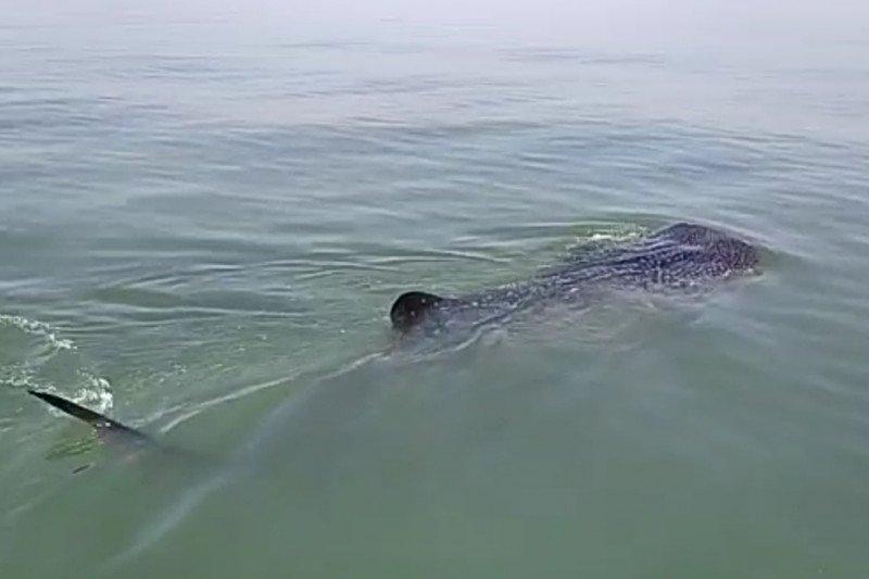 Wisata hiu paus, KKP: hindari perilaku tak patut