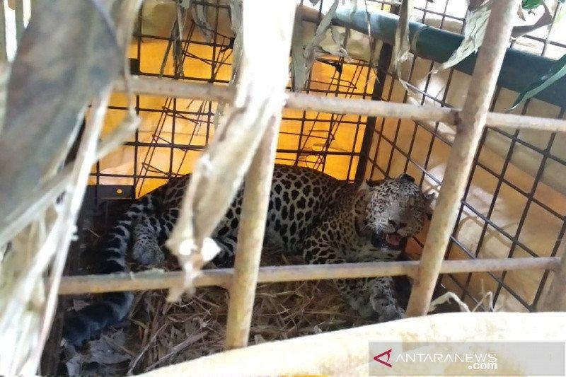 Warga tangkap macan tutul di kaki Gunung Sawal