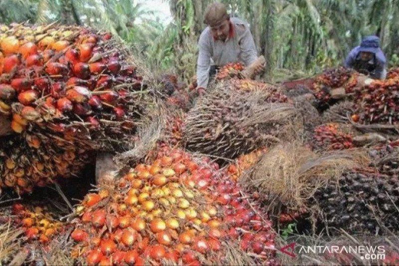 Pemilik kebun sawit di Malaysia minta pemerintah ijinkan TKA masuk kembali