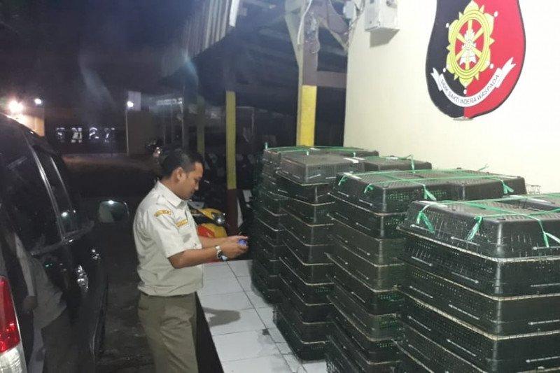 Karantina Pertanian Lampung gagalkan penyelundupan 400 ekor burung kacer