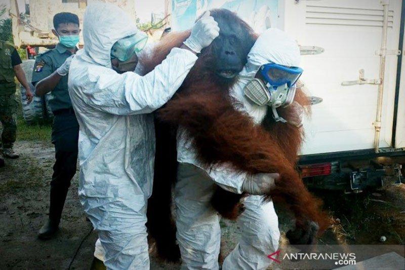 BKSDA lumpuhkan orangutan masuk perkebunan warga, petugas sempat di kejar-kejar
