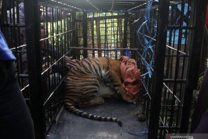 Harimau sumatera Masuk Perangkap BKSDA