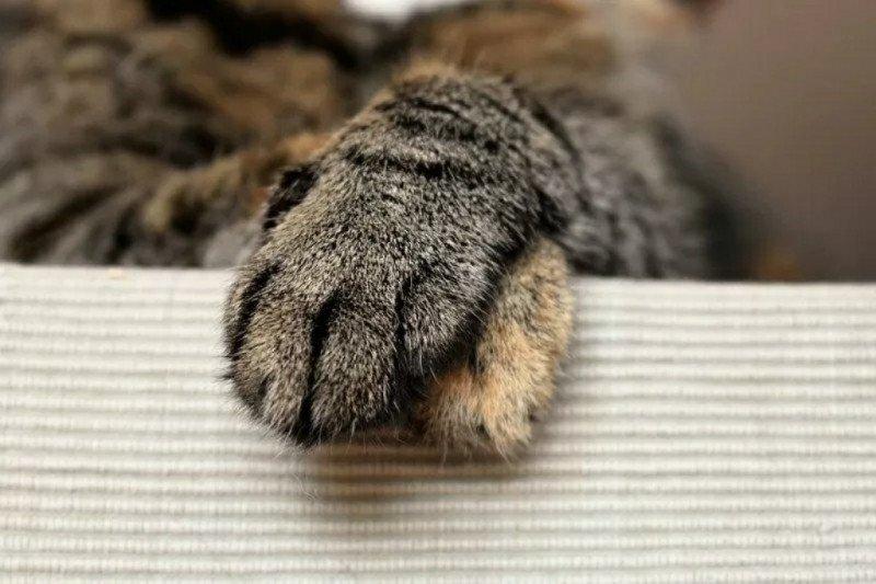 Seekor kucing di Jepang diberi penghargaan setelah bantu selamatkan warga