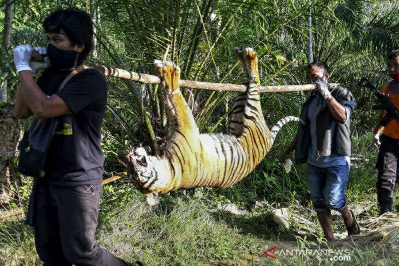 Harimau Sumatera mati diracun