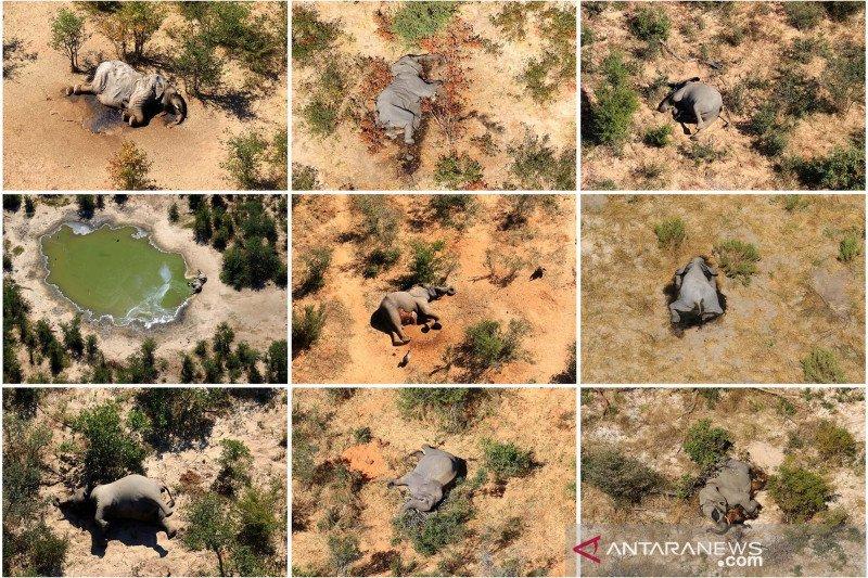 Botswana masih selidiki kematian ratusan gajah