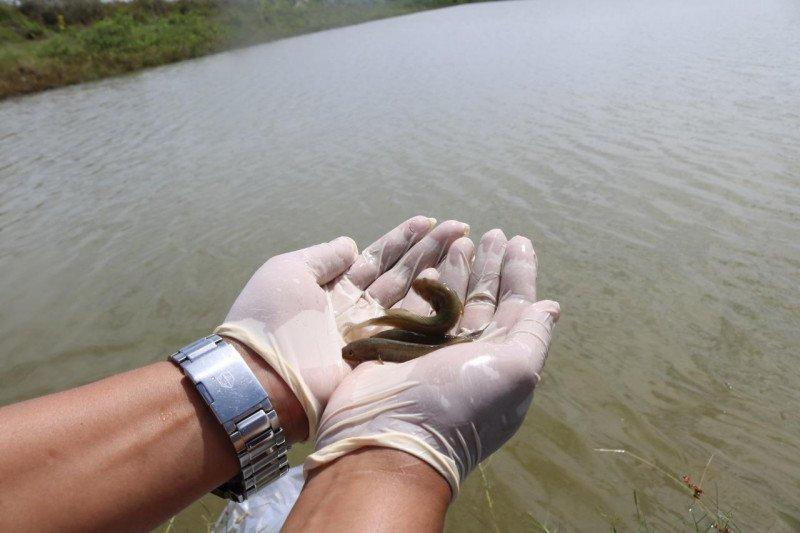 KKP lestarikan ikan oliv yang endemik di Merauke Papua
