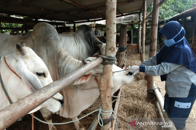Presiden Jokowi membeli sapi di Bantul untuk hewan kurban