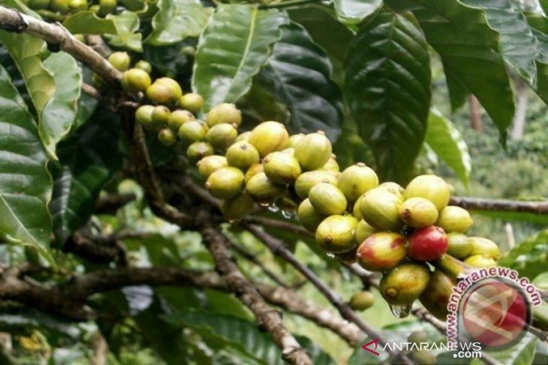 Pemkab Sigi galakkan pengembangan perkebunan kopi
