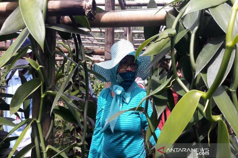 Balittro identifikasi vanili di Kabupaten Temanggung