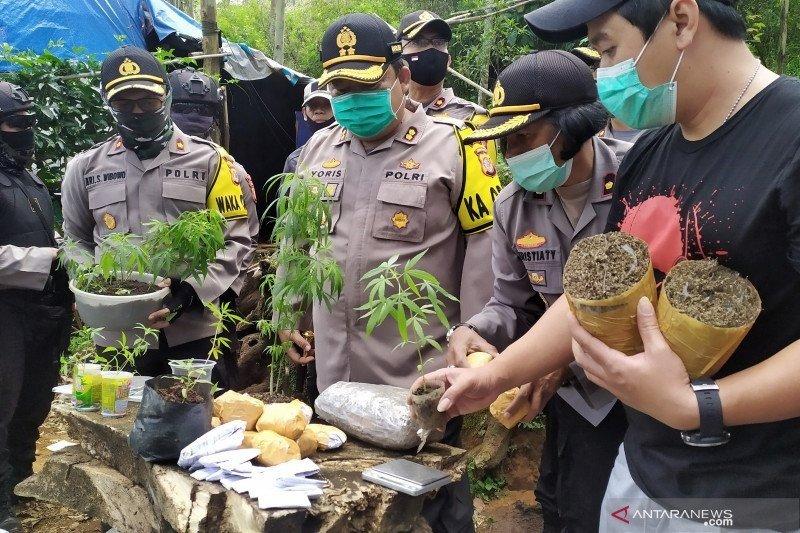 Polisi ungkap satu hektare tanaman ganja yang diacak dengan pohon pisang dan sayuran