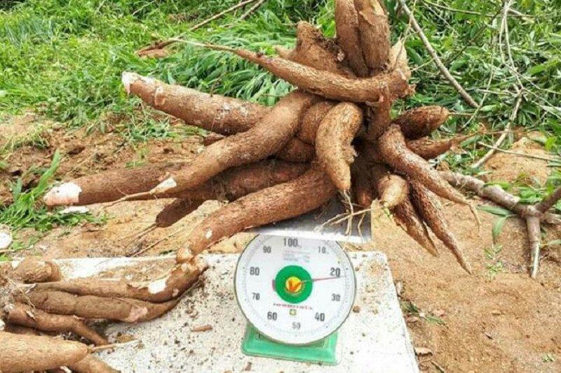 Balitbangtan lepas dua varietas ubi kayu guna tingkatkan produktivitas pangan
