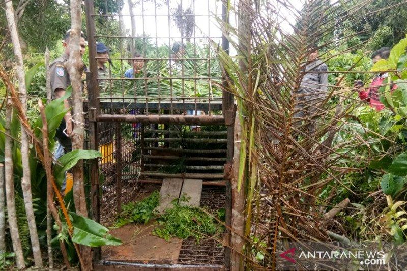 BBKSDA Riau pasang dua perangkap Harimau di Desa Tenggayun