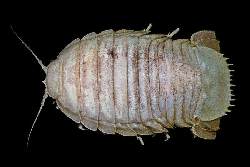 """LIPI temukan """"kecoak laut raksasa"""" pertama dari laut Indonesia"""